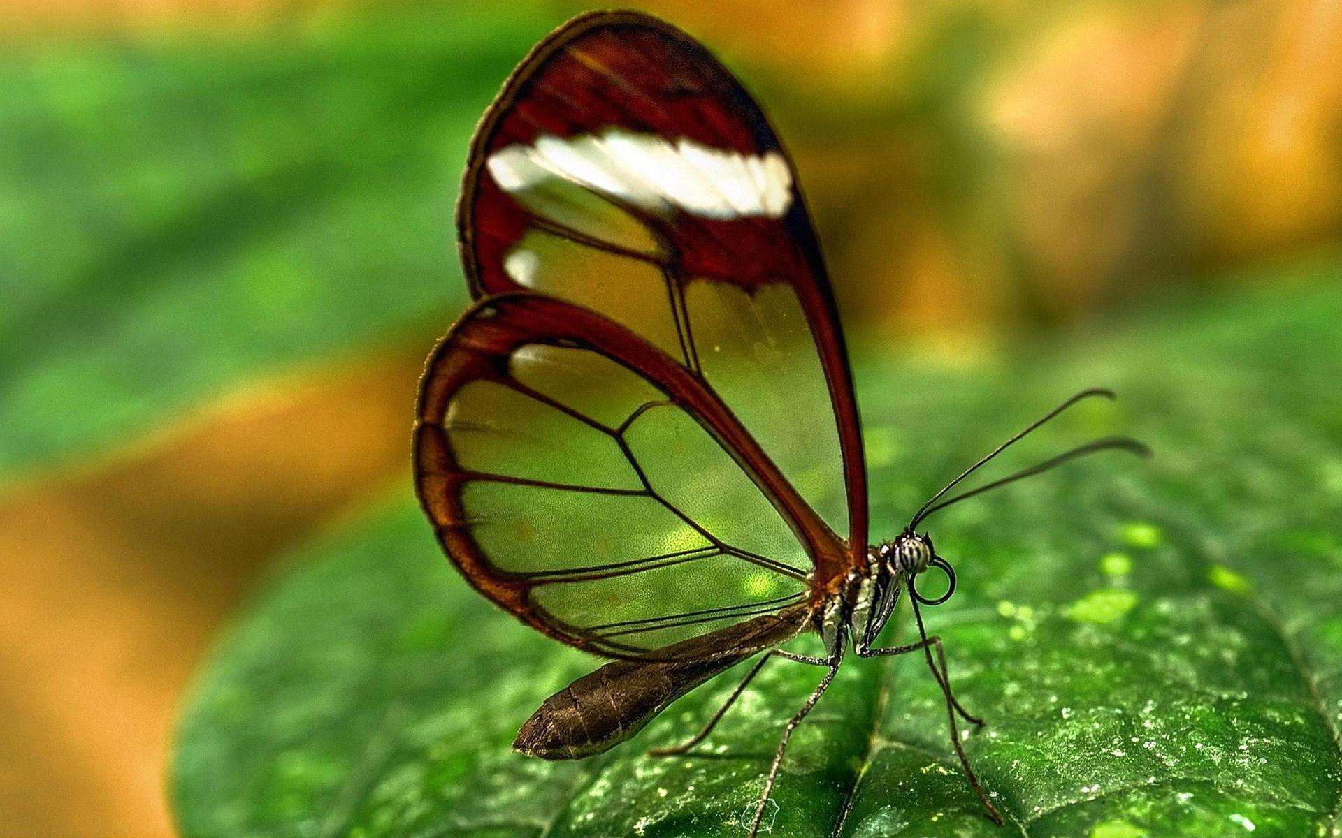 ¿Sabías en las montañas de Cuba vive una de las mariposas más hermosas y delicadas del mundo?