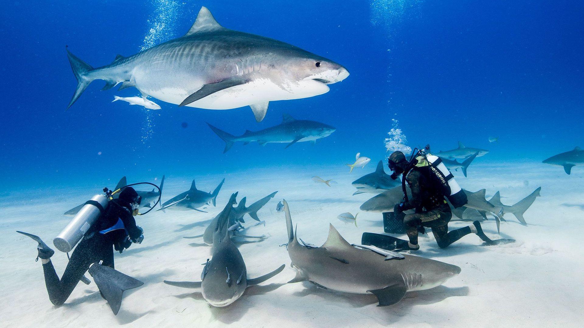 ¿Puedo nadar con tiburones en Cuba?